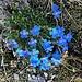 herrliche Alpenblumen im Gletschervorfeld 1