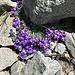 ... und zurück bei den prächtigen Alpenblumen;<br />hier die seltenere, ganzheitlich blau-violette, Variante des Leinkrauts ...