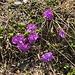 weiter Blumenschönheiten vor Erreichen der Hütte ...