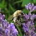 Wollschweber (Bombyliidae) an Echtem Lavendel, Lavandula angustifolia