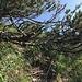 13 Auf dem ersten Spitz des Forenstocks wechsel auf Ostgrad (leichter Weg sichtbar), dann hier wieder wechsel zurück auf rechte Seite
