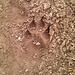 Zmittzt auf dem Wanderweg: Die Spur eines Wolfes?