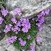Leberbalsam (Erinus alpinus)