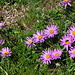 Alpine aster (Aster alpinus) seen during the ascent in the lower part of Val Turba.