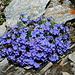 Eritrichium nanum, the arctic alpine forget-me-not, or Himmelsherold as it is called in German.