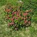 ein besonders schöner Busch von Alpenrosen