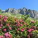 rose delle alpi