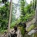 Im Rotenstein-Wald: Bei diesen Bäumen begann eine Spur - die sich jedoch wieder verlor. Hinten unten die Schlucht
