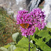 Ein Wachtelweizen-Scheckenfalter (Melitaea athalia) sitzt auf der Blüte des Alpendosts (Adenostyles). Ganze Felder von dieser Pflanze hatte es im Val de Réchy