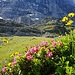 Viele Alpenrosen säumen den Weg zur Wand