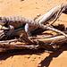 Schuppiges Getier: Desert Spiny Lizard (Sceloporus magister cephalaflavus).