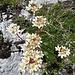 Trauben-Steinbrech (Saxifraga paniculata)