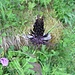Hallers Rapunzel (Phyteuma ovatum)