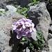 Rundblättriges Täschelkraut (Thlaspi rotundifolium)