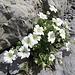 Breitblättriges Hornkraut (Cerastium latifolium)
