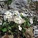 Gewöhnliche Gämskresse (Pritzelago alpina subsp. alpina)