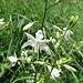 Astlose Graslilie (Anthericum liliago)