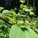 Am Wegrand wächst eine Tollkirsche (Atropa belladonna), die unangefochtene Königin der Nachtschattengewächse. Sie gehört zu den giftigsten heimischen Pflanzen.