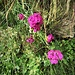 Dianthus carthunasiorum L.<br />Caryophillaceae<br /><br />Garofano dei Certosini<br />Oeillet des Chartreux<br />Kärtauser-Nelke