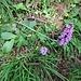 Dactylorhiza maculata (L.) Soò<br />Orchidaceae<br /><br />Orchide macchiata<br />Orchis tacheté<br />Geflekte Fingerwurz