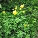 Trollius europeus L.<br />Ranunculaceae<br /><br />Botton d'oro, Luparia, Vulparia<br />Trolle d'Europe<br />Europäische Trolblume, Ankebälli