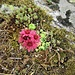 Sempervivum montanum L.<br />Crassulaceae<br /><br />Semprevivo montano, Guardacasa<br />Joubarbe des montagnes<br />Berg-Hauswurz