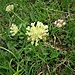 Anthyllis vulneraria L.<br />Fabaceae<br /><br />Vulneraria comune<br />Antyhllide vulnéraire<br />Echter Wundklee
