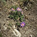 Aster alpinus L.<br />Asteraceae<br /><br />Astro alpino<br />Aster des Alpes<br />Alpen-Aster