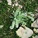 Hieracium villosum Jacq.<br />Asteraceae<br /><br />Sparviere del calcare<br />Epervière velue<br />Zottiges Halbichtskraut