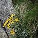 Senecio doronicum (L.) L.<br />Asteraceae<br /><br />Senecione mezzano<br />Seneçon doronic<br />Gämswurz-Greiskraut, Gämswurz-Kreuzkraut