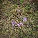 Soldanella alpina L.<br />Primulaceae<br /><br />Soldanella comune<br />Soldanelle des Alpes<br />Grosse Soldanelle, Grosses Alpenglöckchen