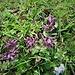 Bartsia alpina L.<br />Orobanchaceae<br /><br />Bartsia<br />Bartsie des Alpes<br />Alpenhelm, Trauerblume<br />