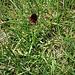 Nigritella rhellicani aggr.<br />Orchidaceae<br /><br />Nigritella comune<br />Orchis vanillé, Nigritelle noirâtre<br />Schwarzes Männertreu, Bränderli<br />