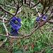 Gentiana acaulis L.<br />Gentianaceae<br /><br />Genziana di Koch<br />Grande gentiane calcifuge, Gentiane de Koch<br />Stängelloser Enzian, Kochs Enzian, Silikat-Glockchen-Enzian