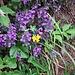 Clinopodium vulgare L.<br />Lamiaceae<br /><br />Clinopodio dei boschi<br />Sarriette clinopode<br />Wirbeldost