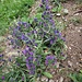 Echium vulgare L.<br />Boraginaceae<br /><br />Viperina azzurra<br />Vipérine commune<br />Gemeiner Natterkopf