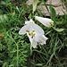 Paradisea liliastrum (L.) Bertol.<br />Asparagaceae<br /><br />Paradisia<br />Lis des Alpes, Paradisie<br />Weisse Trichterlillie, Paradieslillie
