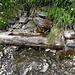 Über die Rinne fliesst kaum mehr Wasser. Das meiste fliesst unter dem Brunnen durch.