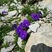 Mont Cenis Veilchen (Viola Cenisia)