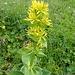 Immer wieder Gelber Enzian im Abstieg vom Rotsteinpass