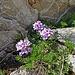 Steinschmückel (Petrocallis pyrenaica)