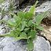 Eine Stumpflättrige Weide an einem langen, flach liegenden Stämmchen