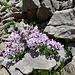 Rundblättriges Täschelkraut (Noccaea rotundifolia) - zum Verwechseln ähnlich mit dem Steinschmückel