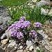 Rundblättriges Täschelkraut (Noccaea rotundifolia)