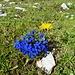 Blaue Enziane mit gelbem Wachtmann