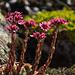 Hauswurzblüten