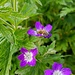 Alpenflora am Wegrand (mit Besuch)