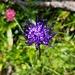 Alpenflora am Wegrand: Teufelskralle