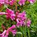 Alpenflora am Wegrand: Alpenrosen