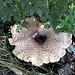 ein Riesenpilz, mit Sicherheit mehr als 30 cm Durchmesser